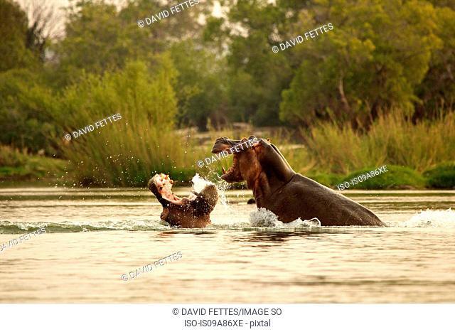 Hippos fighting in the Zambezi River