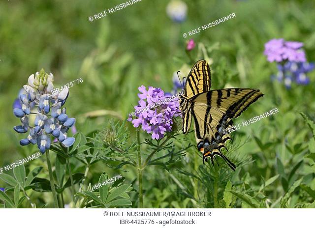 Two-tailed Tiger Swallowtail (Papilio multicaudata), feeding on Prairie Verbena (Glandularia bipinnatifida), with Texas Bluebonnet (Lupinus texensis), Texas
