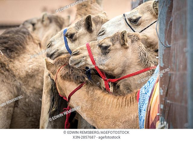 Camels crowded together at the Al Ain Camel Market, located in Abu Dhabi, UAE