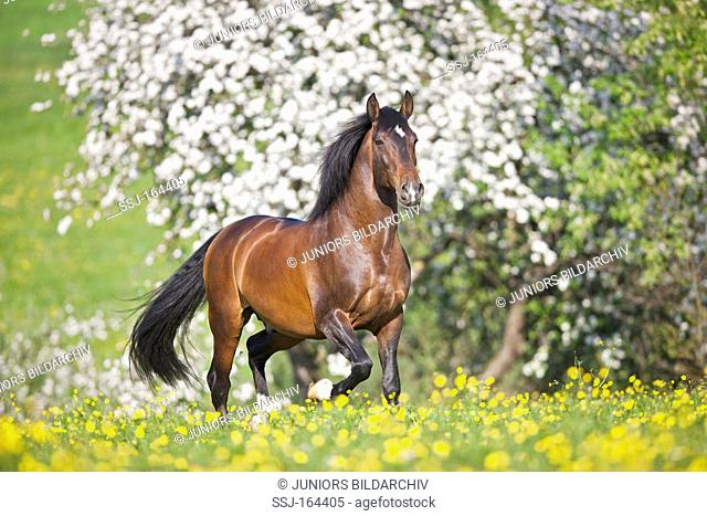 Lusitano horse on meadow