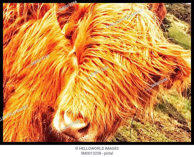 Highland cow, Worcestershire, England