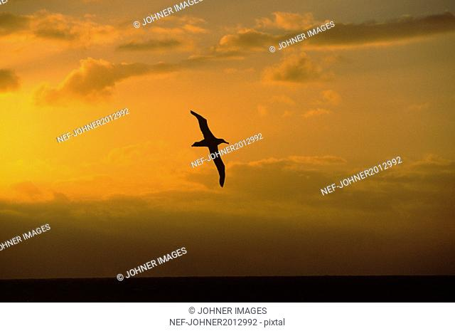 Silhouette of flying bird at sunset