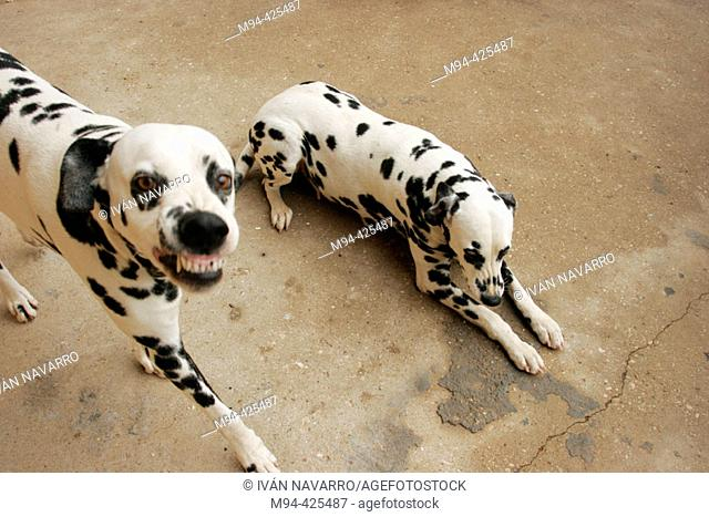 Two Dalmatian dogs, one looking at camera and snarling