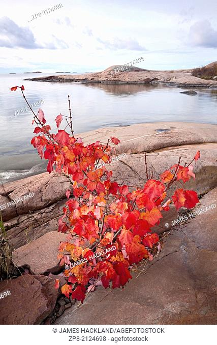 Small maple tree with red leaves along the shores of Georgian Bay in Killarney Provincial Park, Ontario, Canada