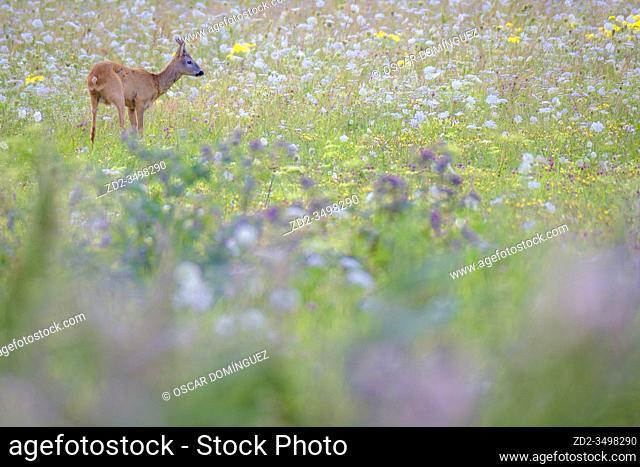 Roe deer (Capreolus capreolus) in summer meadow. Nemunas Delta. Lithuania