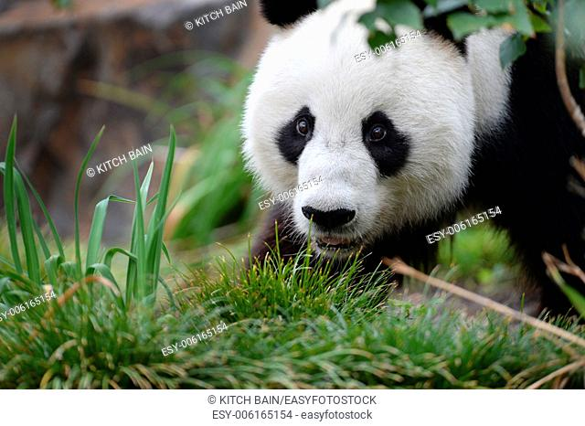 A close up shot of a giant panda
