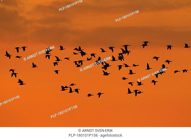Large flock of migrating barnacle geese (Branta leucopsis) in flight silhouetted against orange sunset sky