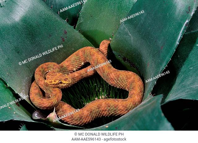 Eyelash Viper (Bothriechis schlegelli) C. & S. America