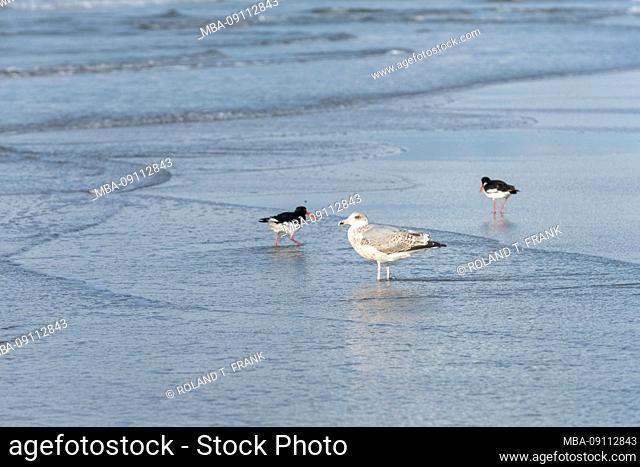 Germany, Lower Saxony, East Frisia, Juist, Herring Gull, Larus argentatus