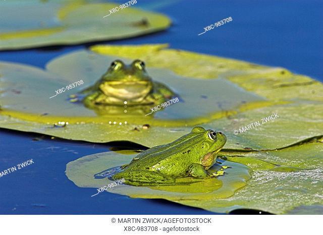 Edible Frog Rana esculenta or Pelophylax kl  esculentus in the Danube Delta sitting on leaf of water lily    Europe, Eastern Europe, Romania, Danube Delta