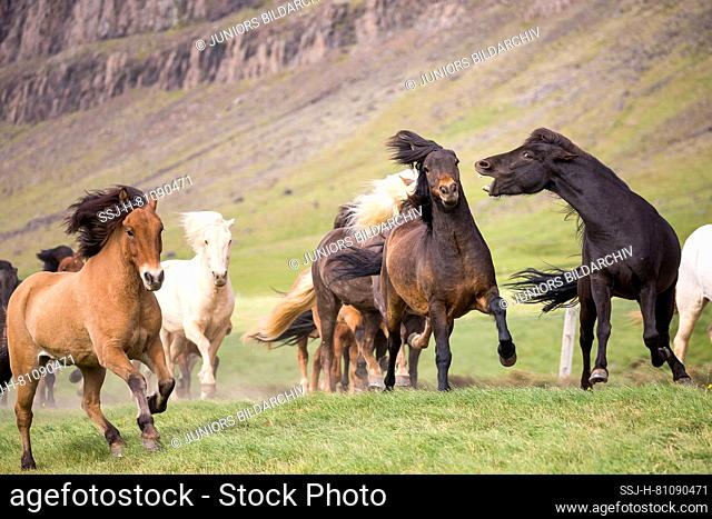 Icelandic Horse. Herd galloping in a meadow. Black mare biting bay mare. Iceland