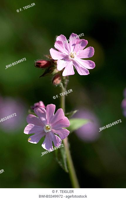 Red campion (Silene dioica), flowers, Germany