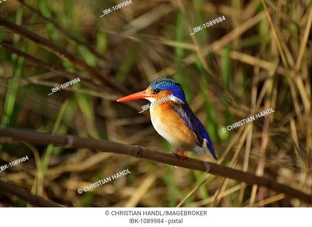 Malachite Kingfisher (Alcedo cristata) on the Okavango River, Namibia, Africa