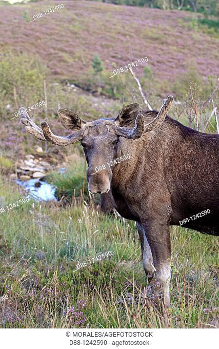 Moose  Male  Alces alces Order: Artiodactyla Family : Cervidae