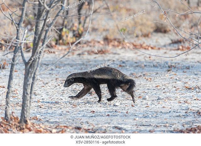 Honey Badger (honey badger). Etosha National Park. Namibia. Africa