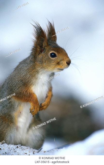 Red Squirrel, Sciurus vulgaris, Sweden