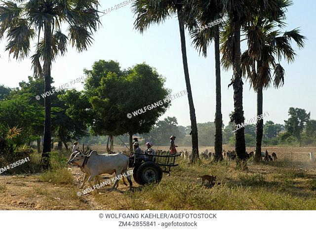 An oxcart and a herd of goats in a field along the road from Bagan to Mandalay in Myanmar