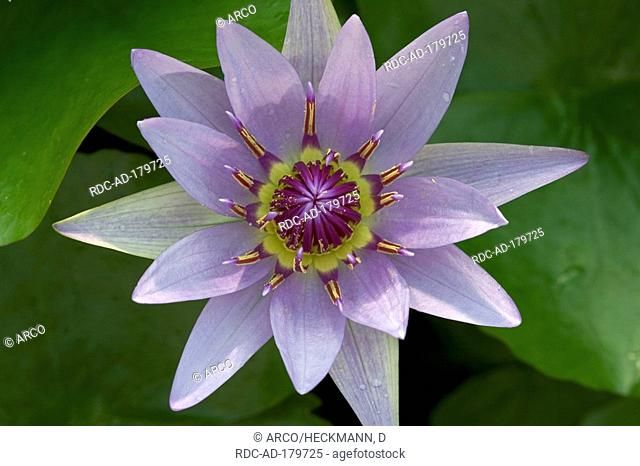 Colorful Water Lily, Nymphaea colorata