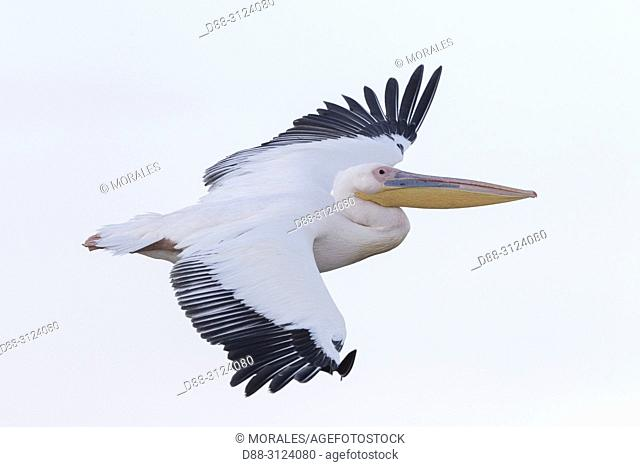 Africa, Ethiopia, Rift Valley, Ziway lake, Great White pelican (Pelecanus onocrotalus), in flight.