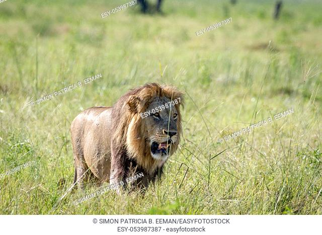 Big male Lion walking in the grass in the Chobe National Park, Botswana