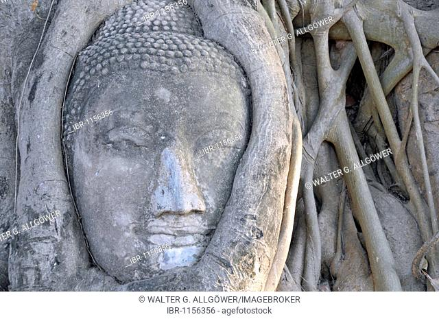 Sandstone head of a Buddha statue, overgrown by the roots of a Bodhi Tree (Ficus religiosa), Wat Mahathat, Ayutthaya, Thailand, Asia