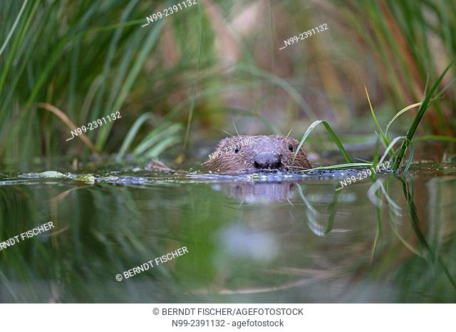 Beaver (Castor fiber), swimming through water plants, Bavaria, Germany