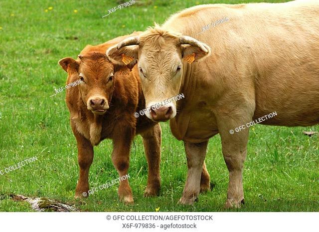 Mother cow with calf, Aubrac breed