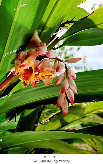 Shell Ginger, Light galangal, Pink porcelain lily, Shell flower, Variegated ginger, Butterfly ginger (Alpinia zerumbet), inflorescence, New Caledonia