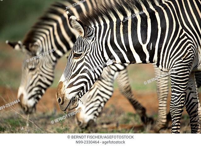 Grevy`s zebras (Equus zebra) grazing, Samburu National Reserve, Kenya