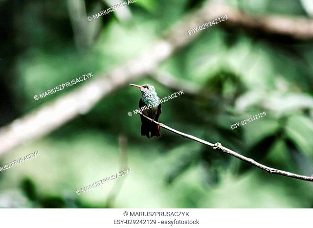 Male Green-crowned Woodnymph Hummingbird in Ecuador