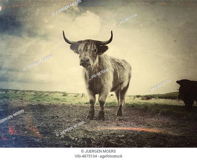 Germany, Borkum, Scottish Highland cattle - Borkum, Germany, 19/08/2013
