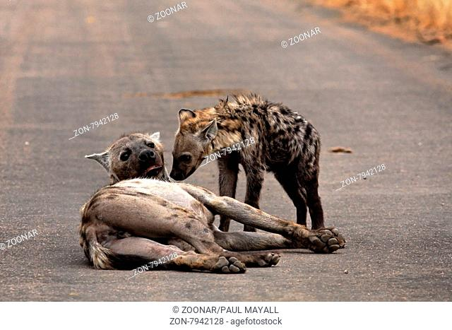 Female Spotted Hyaena (Crocuta crocuta) with young cub on Road in Kruger National Park, South Africa