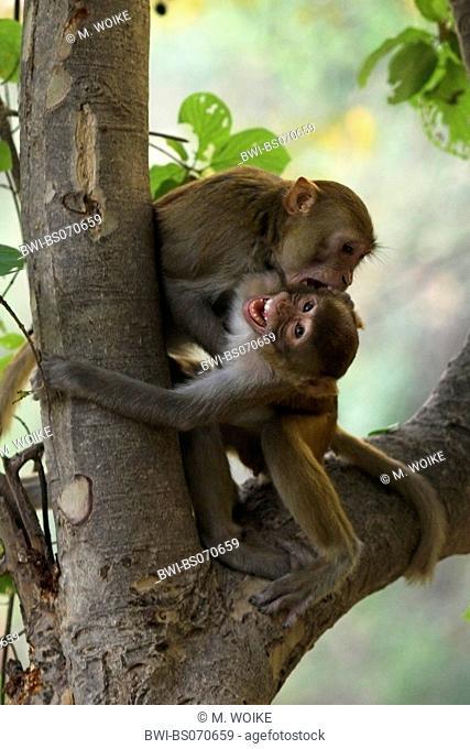 rhesus monkey, rhesus macacque (Macaca mulatta), cups, fighting, India, Keoladeo Ghana National Park