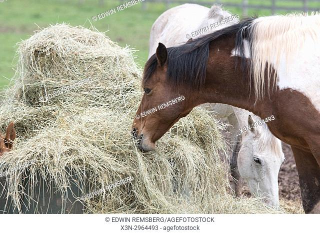 Horses gather round for a meal at Breezy Hills Stable, Thurmont Maryland USA