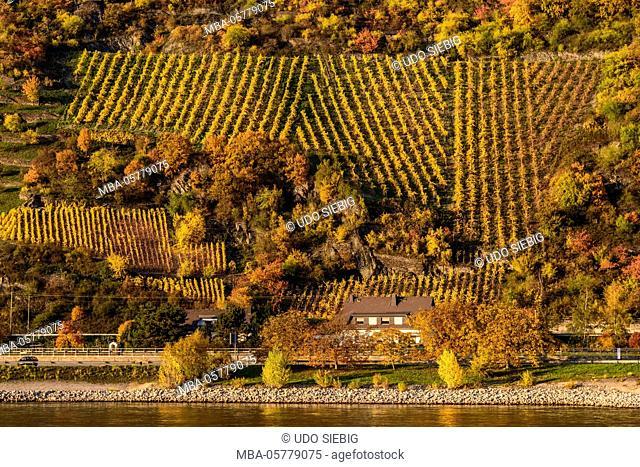 Germany, Rhineland-Palatinate, upper Middle Rhine Valley, Saint Goarshausen, district Wellmich, vineyard