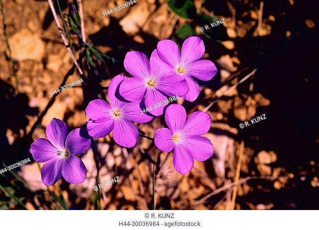 Blue Flax, Linum narbonense, Linaceae, Flax, flower, inflorescence, blossoms, detail, plant, Tarragona, Spain