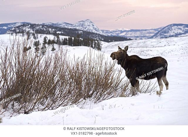 Moose ( Alces alces ) in winter, feeding on bushes, last evening light, wide open land, Rocky Mountains, caldera of Yellowstone NP, Wyoming, USA.