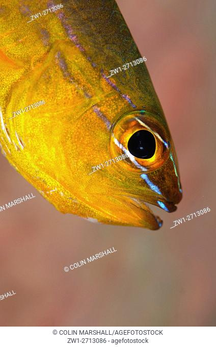 Goldbelly Cardinalfish (Ostorhinchus apogonides), Coral Gardens dive site, Seraya, Bali, Indonesia
