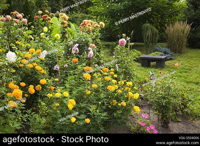 Yellow Tagetes - Marigold and pink and orange Dahlia flowers with charcoal coloured stone sitting bench in backyard garden in late summer