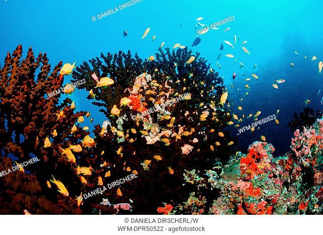 Lyretail Anthias over Coral Reef, Pseudanthias squamipinnis, North Ari Atoll, Maldives
