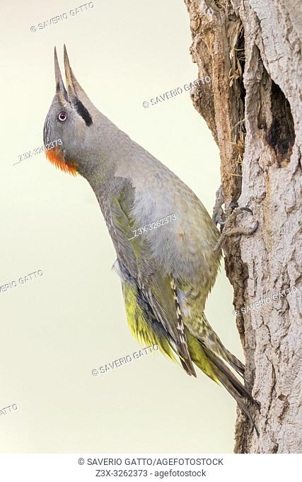 Levaillant's Woodpecker (Picus vaillantii), adult female calling at the entrance of an old nest