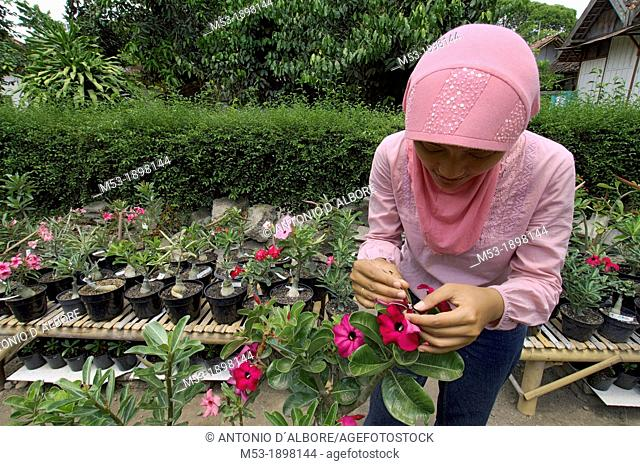 an indonesian woman impollinate an adenium plant  kraton district  yogyakarta  indonesia