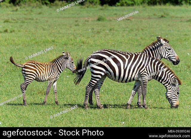 Zebra, Equus quagga, adult with young, Masai Mara National Reserve, Kenya, Africa