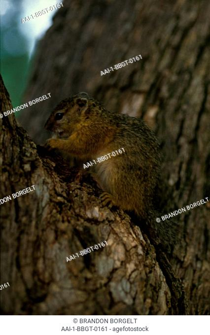 Tree Squirrel, South Africa