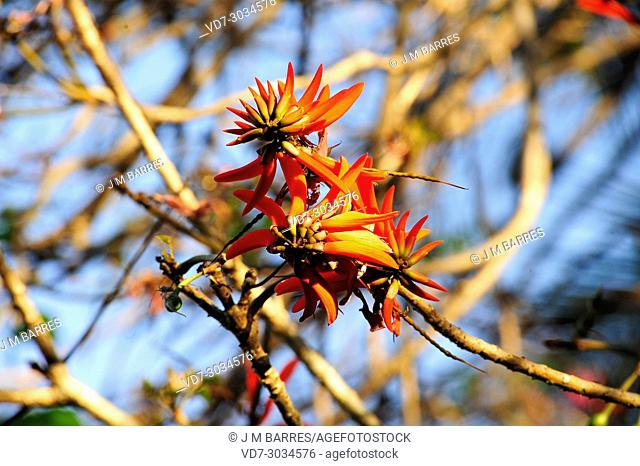 Cockspur coral tree (Erythrina crista-galli) is the national tree of Argentina. Is native to Argentina, south Brazil, Paraguay and Uruguay