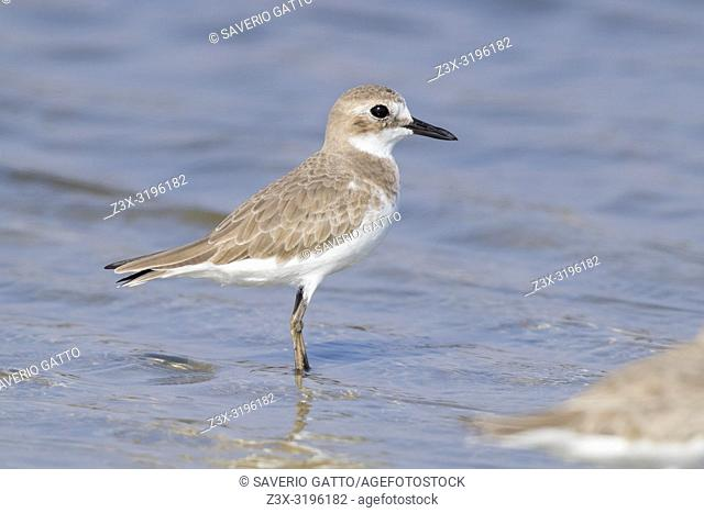 Greater Sand Plover (Charadrius leschenaultii), side view of an adult in winter plumage in Oman