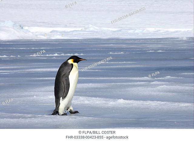 Emperor Penguin Aptenodytes forsteri adult, walking across sea ice, Snow Hill Island, Weddell Sea, Antarctica