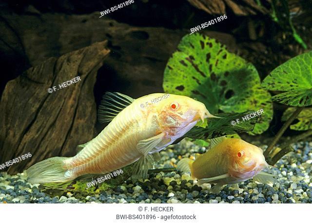 Corydoras (Corydoras spec), swimming