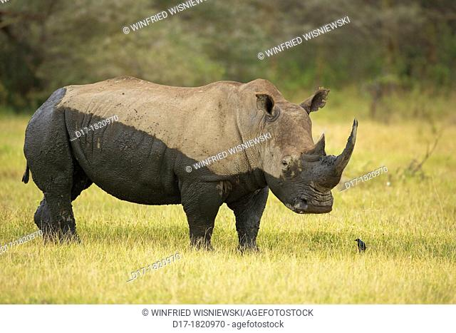 White rhinoceros or square-lipped rhinoceros (Ceratotherium simum) covered with mud. Lake Nakuru National Park. Kenya