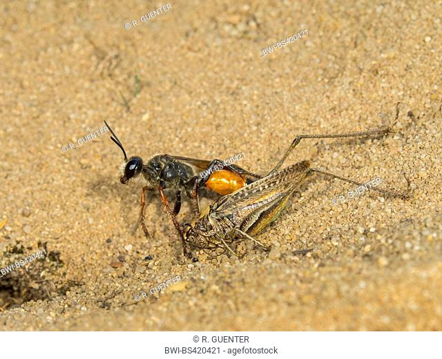 Golden Digger Wasp (Sphex funerarius, Sphex rufocinctus), Female with captured male of a Grey Bush-cricket (Platycleis albopunctata) at the nest, Germany
